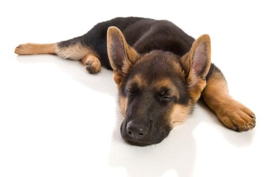 Seizures in a German Shepherd Puppy