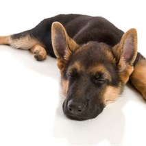 Seizures in a German Shepherd Puppy