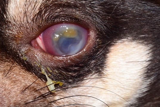 First corneal xenograft at Davies Veterinary Specialists