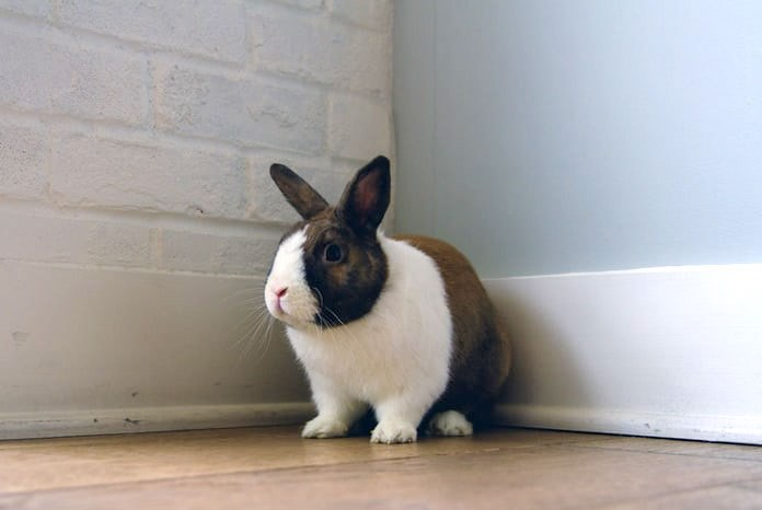 The Royal Veterinary College has published the latest findings from its VetCompass programme, this time identifying the most common medical issues and causes of death in pet rabbits1.