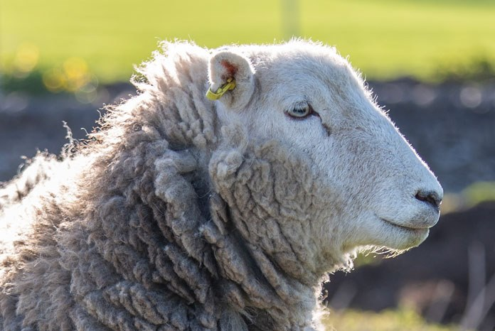 Ceva Animal Health, supplier of the Cevac Chlamydia vaccine, is supporting a new campaign to raise awareness of Enzootic Abortion of Ewes (EAE) and drive farmers to their vet to vaccinate before tupping to prevent unnecessary lamb losses and the inappropriate use of antibiotics.