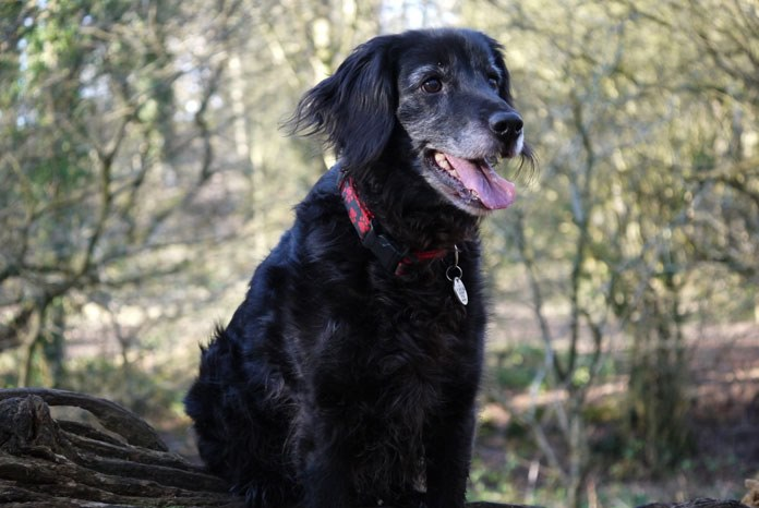 The BSAVA charity, PetSavers has awarded a Citizen Science research grant to support the development of a new tool to help veterinary professionals and pet owners work together to provide the best care to senior dogs.